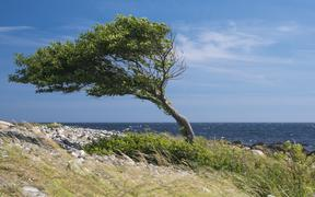 Lonely tree bent by the wind at the sea coast.