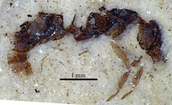 Hundreds of significant insect fossils have been discovered at Foulden Maar, including this holotype of a worker ant, Austroponera schneideri.