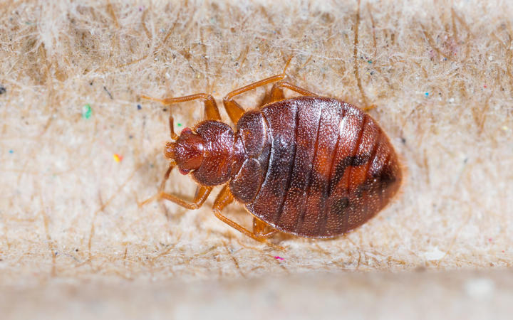 Bed bugs are now believed to have evolved 100 million years ago.