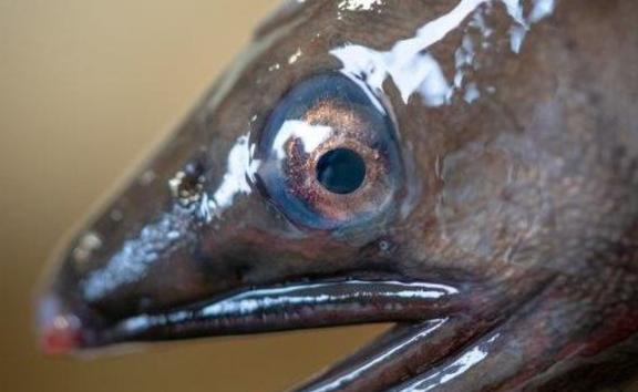 Migrating longfin eels develop particular physical characteristics including a blue ring around the eye. Their stomachs shrink and they cease eating.