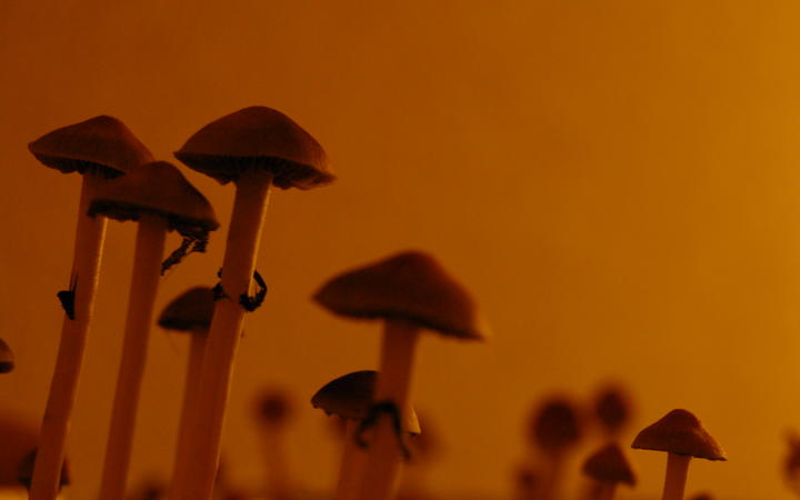 Psilocybe Cubensis, a species of psychedelic mushroom