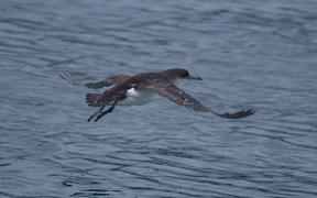 Fluttering shearwaters head to bass Strait and waters off southern Australia in winter.