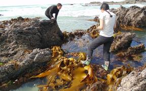 Otago biologists (Prof Jon Waters and PhD student Elahe Parvizi) sampling kelp on the southern New Zealand coast.