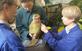 Adult female kākāpō Ihi receiving medical treatment at Auckland Zoo.