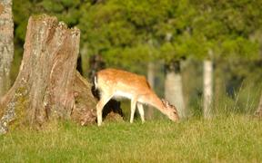 Fallow deer grazing a paddock in Westland, New Zealand.