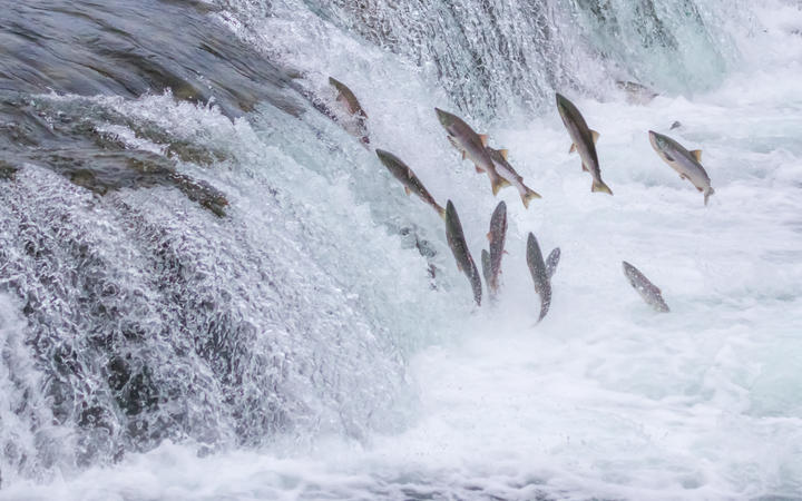 Salmon Jumping Up the Brooks Falls at Katmai National Park, Alaska