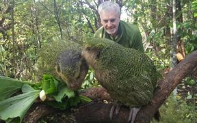 Daryl Eason, from the Department of Conservation's Kākāpō Recovery programme, watches on as hand-reared chicks Tiwhiri-2-A and Marama-1-A learn to eat different native plants as they prepare for their release into the wild.