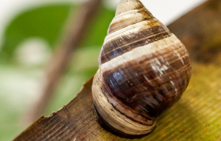 George: the last Hawaiian Brown Snail on earth