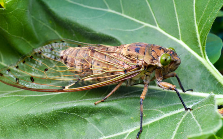 Close view of cicada insect