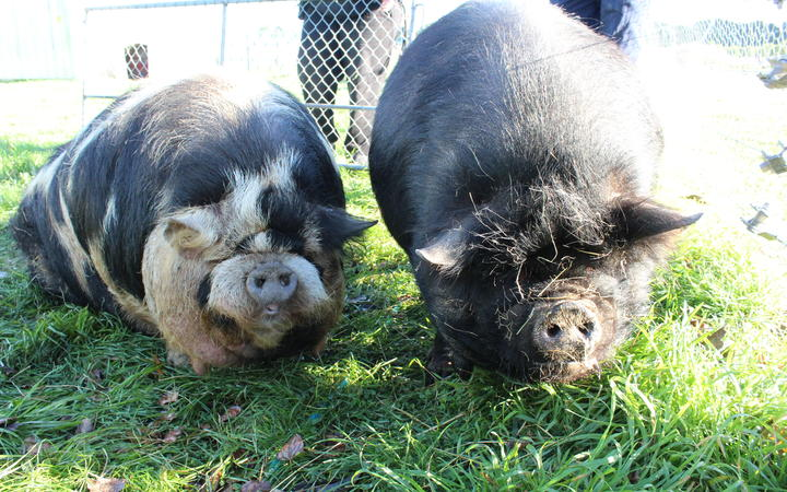 Jenny and Craig - two not so little pigs! | RNZ