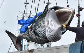 A captured minke whale is lifted by a crane into a truck bed at a port in Kushiro, Hokkaido Prefecture on July 1, 2019. Japanese whalers brought ashore their first catches on July 1 as they resumed commercial hunting after a three-decade hiatus.