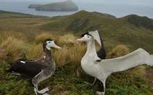 A pair of Antipodean wandering albatrosses court each other.