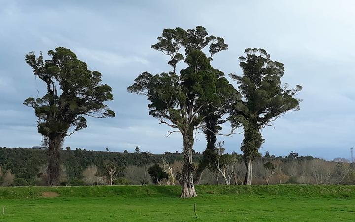 West Coast locals are furious the four 300-year-old rātā trees in Karamea are set to be cleared to make way for $400,000 improvements to the river stopbank.