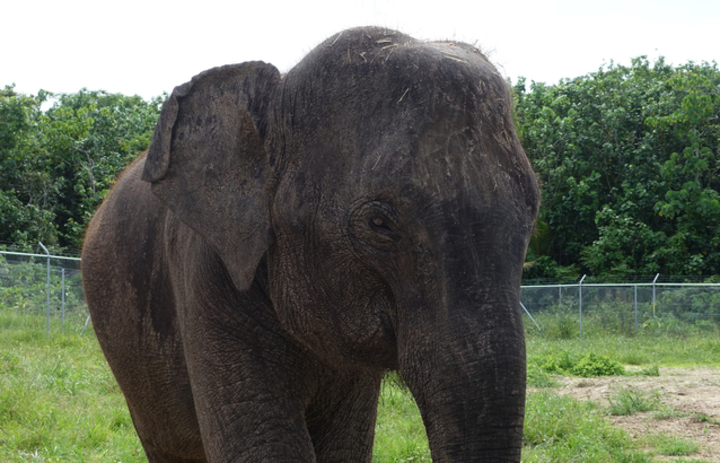 Elephants arriving to Auckland Zoo. Anjalee