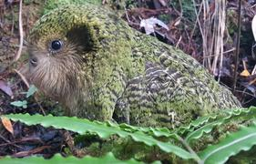 One of three chicks fathered by Gulliver, who has rare Fiordland genes. The chick's mother is Suzanne.