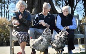 Feeding the Plymouth Rock roosters which have made themselves at home at Leslie Groves Hospital in Wakari, Dunedin, are (from left) Margaret Pennycuick (84), Grant Moody (89) and Patricia Siegle (90).