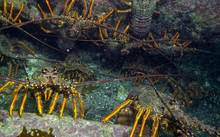 Crayfish in the marine reserve.