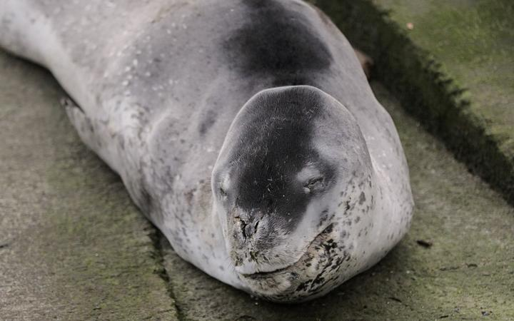 Leopard seal spotted enough to become NZ resident