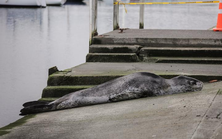 A leopard seal has been spotted at Oriental Bay, Wellington.
