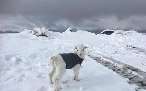 Jack the Goat staying warm in the fresh snow on Coronet peak.