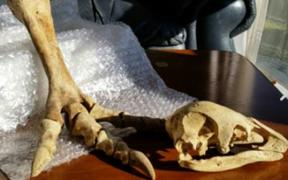 A moa skull and foot bones of undisclosed provenance sold on TradeMe for almost $3000 dollars.