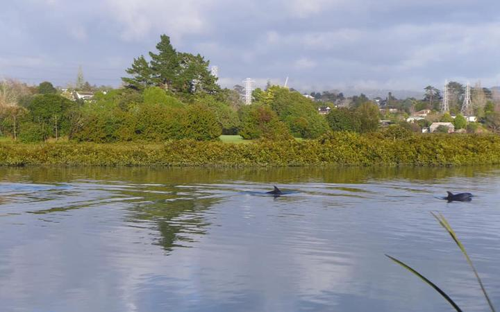A pod of dolphins swum up the Whau River in west Auckland yesterday.