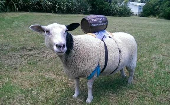 Multi the sheep will be travelling by ferry and car with her owner to deliver a petition against the construction of a marina on Waiheke Island.