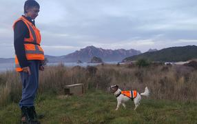 Conservation dog handler Sandy King with her rodent detector dog Gadget, at work on Whenua-Hou - Codfish Island. The wooden box contains a rat trap.