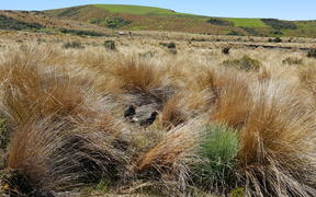 The Burwood Bush Takahē Centre is known to DOC staff as the 'takahē farm': about 20 breeding pairs of birds live in large predator-proof pens filled with red tussock.