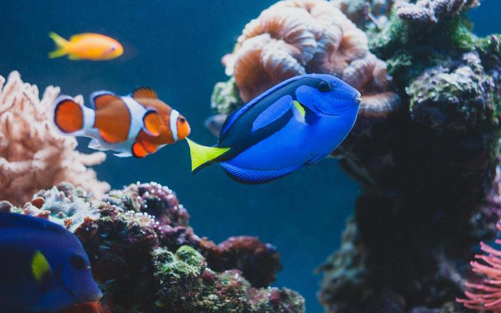Aquarium Fish blue surgeonfish paracanthurus hepatus or blue tang, regal tang, palette surgeonfish.