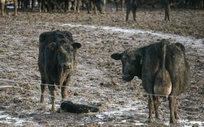 Cows stand in mud after winter grazing.