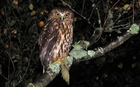 New Zealand morepork, or ruru, Ninox novaeseelandiae, on the West Coast of the South Island.