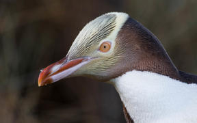 A Yellow-Eyed Penguin