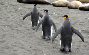 King penguins pass elephant seals on Macquarie Island