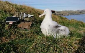 Albatross and Karere on cam