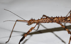A brown female Acanthoxyla stick insect.