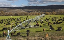 Dairy cows graze under irrigation system near Lauder, Central Otago (2014)