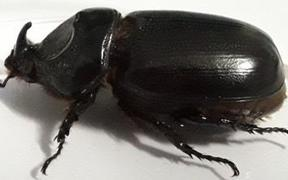 Coconut Rhinoceros Beetle.