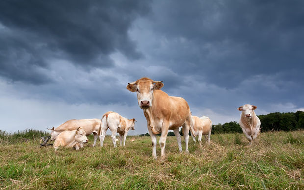 Cows beneath a storm cloud