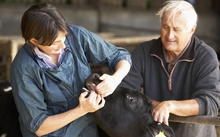 A vet and a farmer examine a calf on a dairy farm