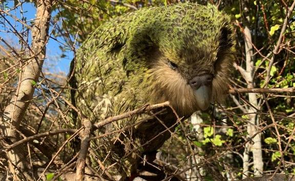 The youngest chick of the bumper kakapo breeding season of 2018-19, Stella-3-B, has reached the 150-day milestone when it  is considered to be a juvenile.