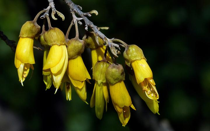 A closeup of kowhai flowers against a dark background