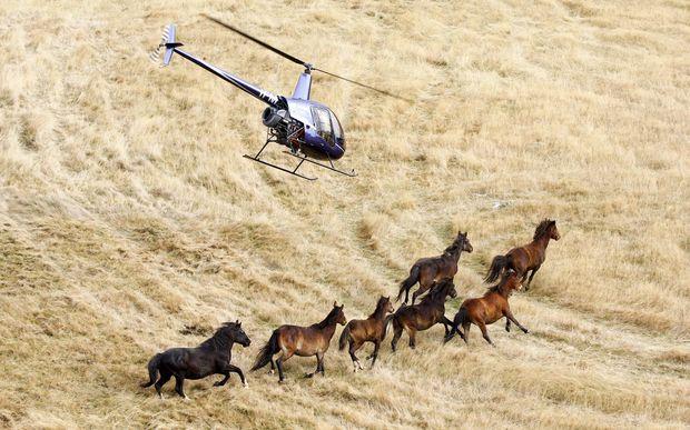 Image result for kaimanawa horses