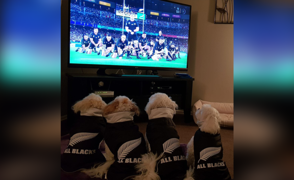 Nicola Pol's four dogs in All Blacks jerseys watching the Rugby World Cup.