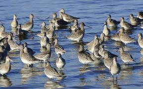 200 bar-tailed godwits have arrived in Christchurch this week.