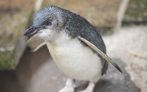 Little blue penguin Draco is this year's Penguin of the Year.