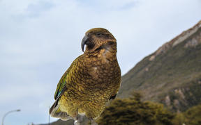 Kea parrot sitting on top of car in Arthur's Pass village, Canterbury, New Zealand