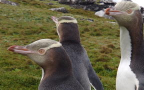 Hoiho / yellow-eyed penguins on Enderby Island, in the subantarctic Auckland islands.