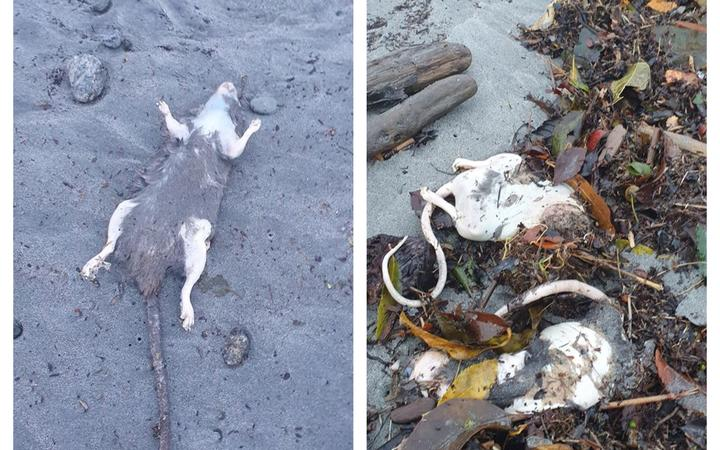 Some of the rats washed up on Westport beaches.