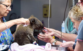 A dehydrated and injured Koala receives treatment at the Port Macquarie Koala Hospital in Port Macquarie on November 2, 2019, after its rescue from a bushfire.